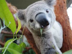 2D274905541814-tdy-koala-selfie-140404-05.blocks_desktop_medium