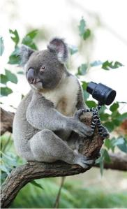 Koala-taking-a-selfie-with-a-Sony-QX-Lens-Style-Camera---image-shot-with-Sony-A99--jpg_024731